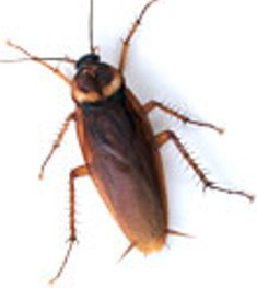 roach, palmetto bug